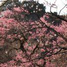 春はすぐそこ!「京王百草園」で色とりどりの梅の花を満喫