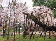 市川で桜の名所を巡ろう!里見公園&弘法寺