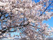 【2019春】石手川緑地のサクラ投稿写真