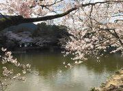 【2019春】広瀬公園のサクラ投稿写真