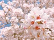【2019春】城山公園のサクラ投稿写真