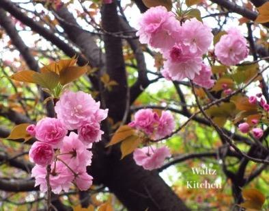 1804_yaesakura