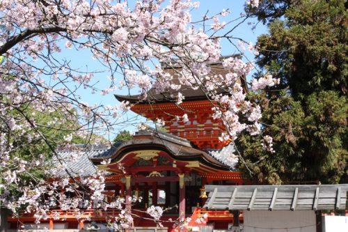 石清水八幡宮 社殿×桜(新)① - コピー