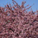 あざみ野の河津桜が満開です!