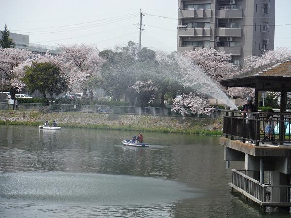 2018 隼人池公園 桜まつり (5)
