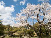 無料!風情溢れる日本庭園 衆楽園と津山まちなみ散歩 3/29~津山さくらまつり【津山】