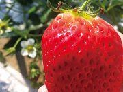 【ワタシ的、日常】今が旬!初めてのイチゴ狩りに