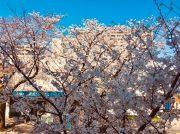 身近な桜スポット!鷺沼駅周辺の桜です♪♪