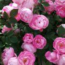バラを観る・買う・味わえる!?1,600 品種1 万株のバラの楽園に行こう!