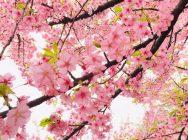 茅ヶ崎公園の河津桜が満開!@センター南
