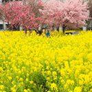 春爛漫!菜の花&桜のコラボレーション♪川和町駅前