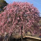 梅の香りに誘われて・・・大倉山公園梅園は今が見頃です♪