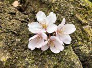 桜で春を満喫!町田さくらまつり尾根緑道 4/6・4/7