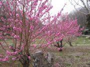 さんしゅゆ、花桃の春のいぶきを感じに散策に出かけました。@青葉区寺家ふるさと村