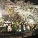 【本郷台】今年は3月25日から!「いたち川桜ライトアップ2019」