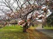 これからが見頃、桜満開の青葉の森公園へGO!@千葉市