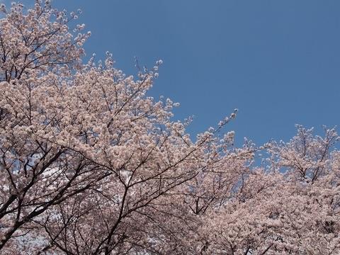 羽村動物公園(以前の桜)
