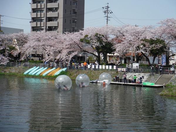 2018 隼人池公園 桜まつり (4)