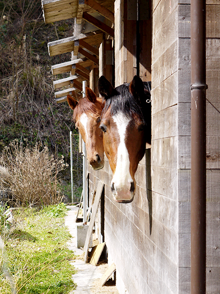 馬屋から顔を出す馬たち@P2320866