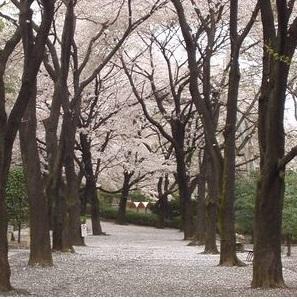 羽村動物公園(以前の桜)2