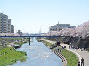 【戸塚】もうすぐ開花!桜の名所「柏尾川プロムナード」でお花見しよう!
