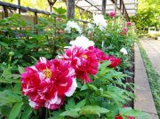 町田薬師池公園 四季彩の杜「ぼたん園」「えびね苑」期間限定開園でイベントも