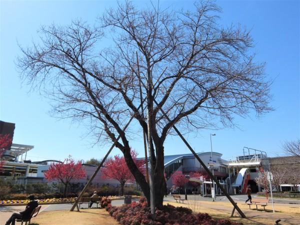 ootakanomori-sakura04
