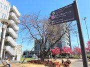 流山おおたかの森駅前広場「桜のプロムナード」満開に想ふ~移植に耐え抜いた5本の桜~