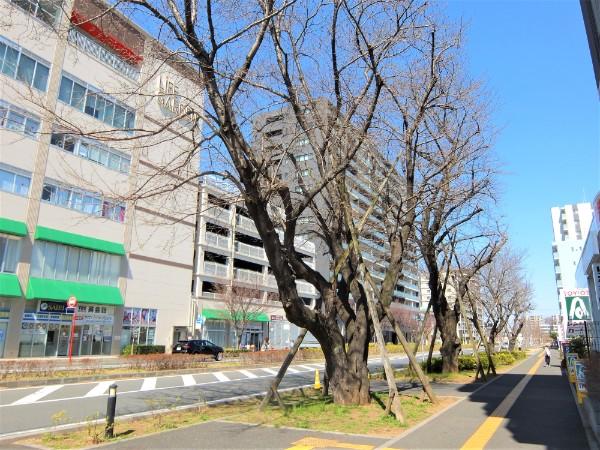 ootakanomori-sakura14