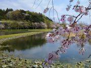 """桜の季節は絶景! 遊歩道""""おゆみの道""""~大百池公園をお散歩@おゆみ野"""