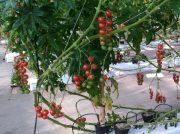 【栃木市】皮が薄くてとろける食感!あま~いミニトマトが食べ放題「いわふねフルーツパーク」