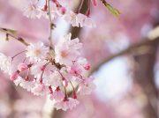 【2019春】道後公園のサクラ投稿写真