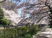 「#リビング多摩の桜2019」」インスタグラムへの投稿方法
