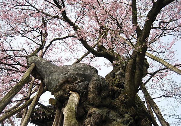 yakushizakura