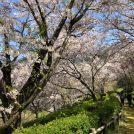 天空の桜★絶景!海と島と肱川の大パノラマでお花見@大洲