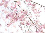さくらの開花予想は4/2!お花見の穴場・村田町城山公園をお見逃しなく!
