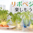 捨てずに育てる!再生可能な野菜はコレ~リボベジを楽しもう