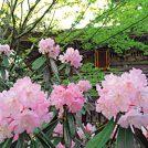 【真庭市】花の山寺 春まつり