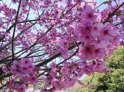【2019春】常信寺のサクラ投稿写真