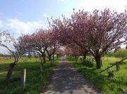秋元牧場の八重桜のトンネルを歩いてみませんか?@長柄町