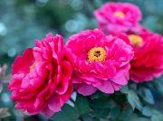 春爛漫!カメラ好きに大人気の撮影スポット浄明院で『牡丹まつり』@松山市