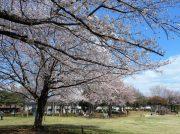 春が来た!お花見の穴場スポット教えます☆野田市・みずき公園