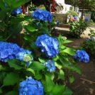 宗吾霊堂 第14回 紫陽花まつりは6月7日から!