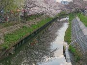 平成最後の桜情報@船橋 海老川