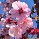 お花見に乗り遅れた方、30分で楽しめる感動の桜トンネルをご紹介します!