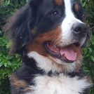 【ルーカス成長記⑩】知ってた??犬の成長痛