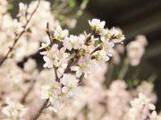 【宇都宮】4月7日(日)まで「FKD宇都宮店」館内でお花見できる♪