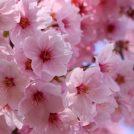 春うらら♪横河原河川敷の桜でお花見会@東温市