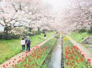 桜とチューリップが一度に楽しめる穴場スポット♪江川せせらぎ緑道