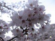 平成最後、恩田川の桜・さくら。@横浜市緑区